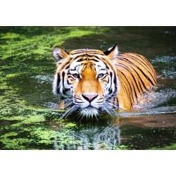 500pz. - Maravilloso Tigre